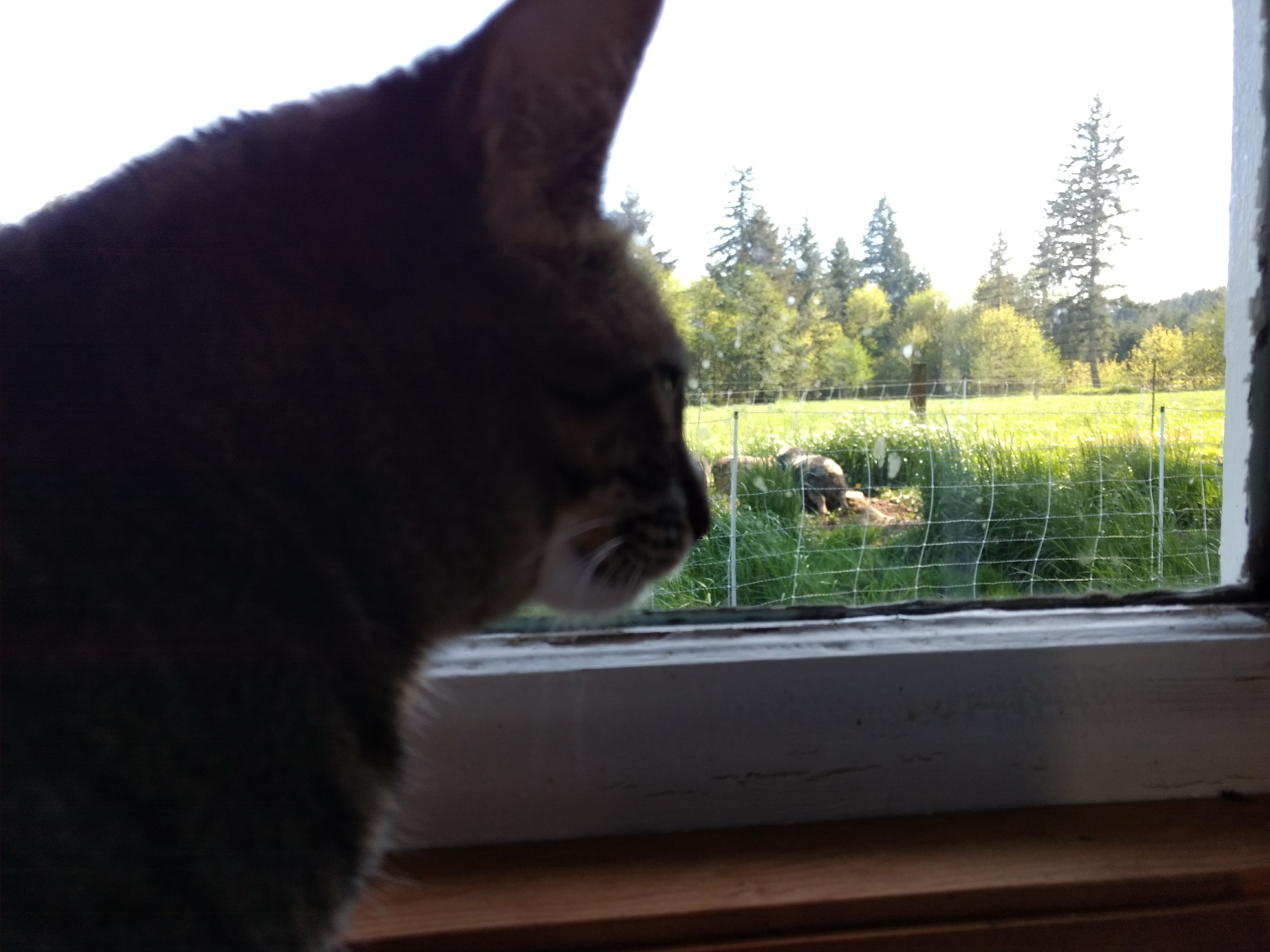 Grace Kitty watching the pigs